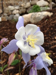 These perfect Columbines are part of the landscaping at where we are staying.