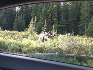 Moose out the back window