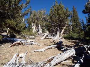 Lots of Bristle cone pines