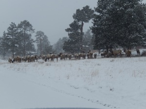 Lots of elk